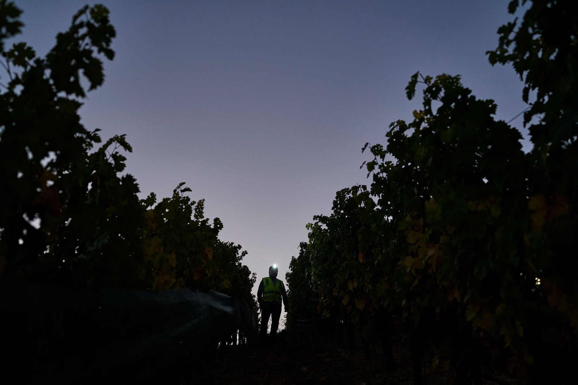 Bryant Estate Vineyard - Harvest